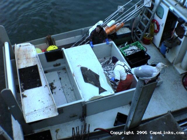 haddock longline halibut