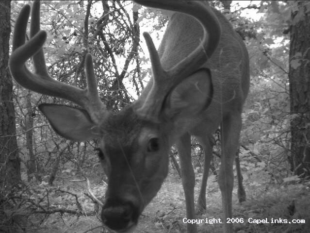 8 point buck up close