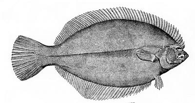 winter flounder or blackback